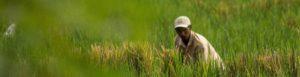 Man picking rice in Indonesia